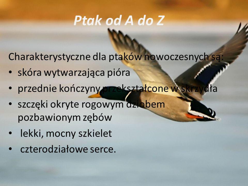 Charakterystyczne dla ptaków nowoczesnych są: skóra wytwarzająca pióra przednie kończyny przekształcone w skrzydła szczęki okryte rogowym dziobem pozb