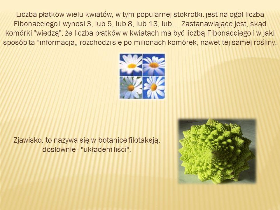 Liczba płatków wielu kwiatów, w tym popularnej stokrotki, jest na ogół liczbą Fibonacciego i wynosi 3, lub 5, lub 8, lub 13, lub... Zastanawiające jes
