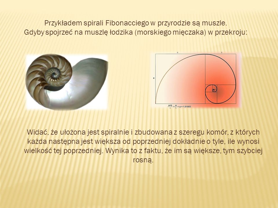 Przykładem spirali Fibonacciego w przyrodzie są muszle. Gdyby spojrzeć na muszlę łodzika (morskiego mięczaka) w przekroju: Widać, że ułożona jest spir