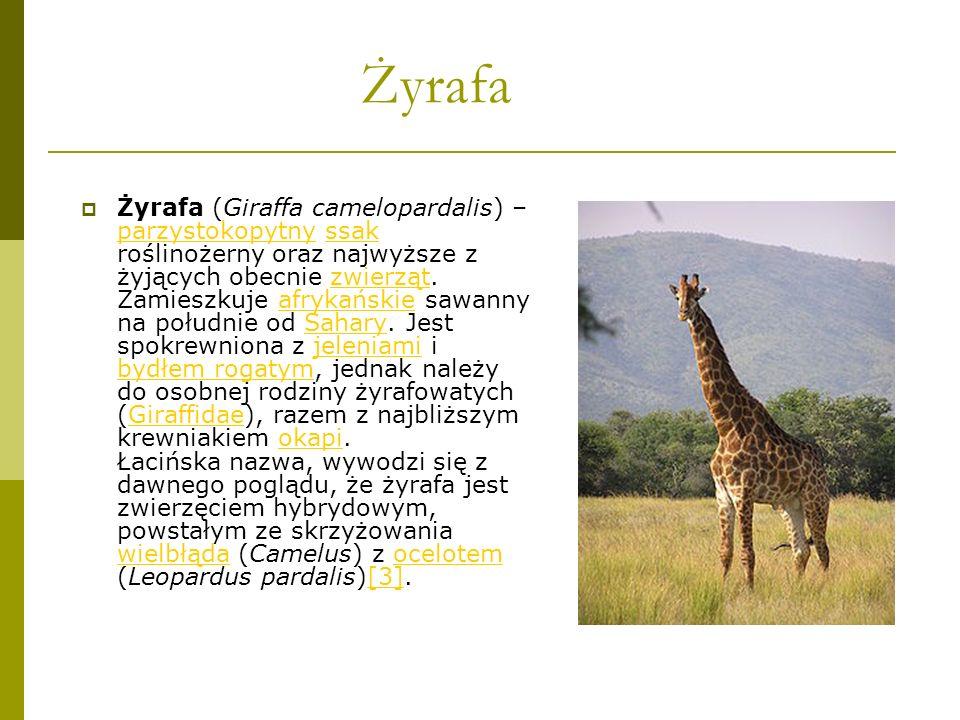 Żyrafa Żyrafa (Giraffa camelopardalis) – parzystokopytny ssak roślinożerny oraz najwyższe z żyjących obecnie zwierząt. Zamieszkuje afrykańskie sawanny