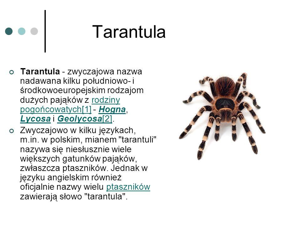 Tarantula Tarantula - zwyczajowa nazwa nadawana kilku południowo- i środkowoeuropejskim rodzajom dużych pająków z rodziny pogońcowatych[1] - Hogna, Ly