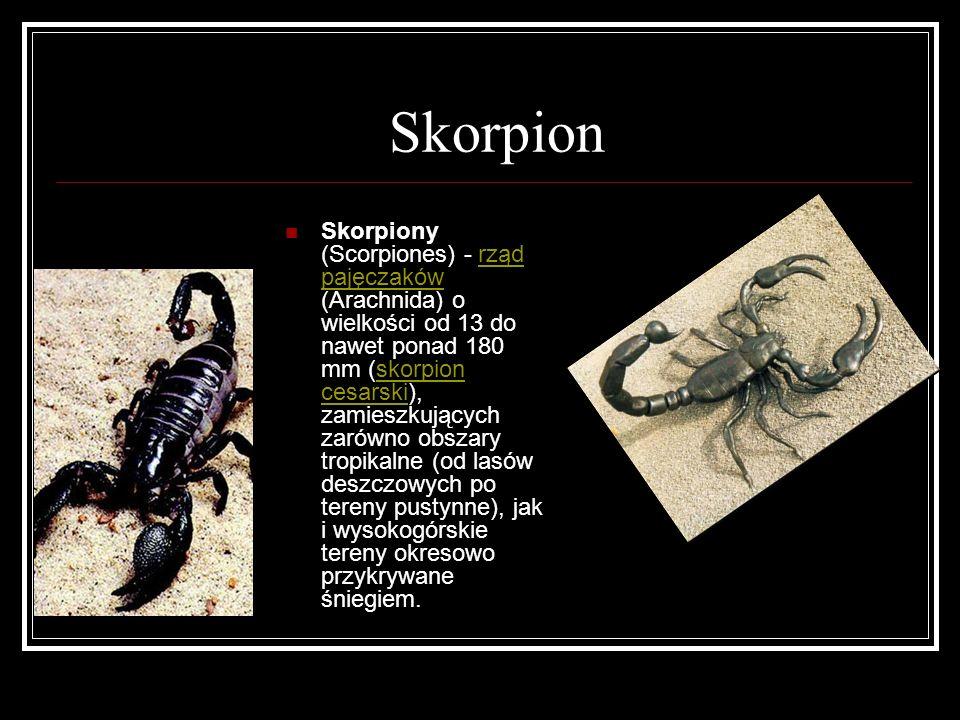 Skorpion Skorpiony (Scorpiones) - rząd pajęczaków (Arachnida) o wielkości od 13 do nawet ponad 180 mm (skorpion cesarski), zamieszkujących zarówno obs