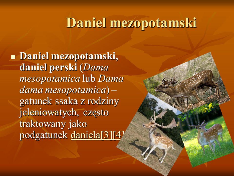 Daniel mezopotamski Daniel mezopotamski Daniel mezopotamski, daniel perski (Dama mesopotamica lub Dama dama mesopotamica) – gatunek ssaka z rodziny je