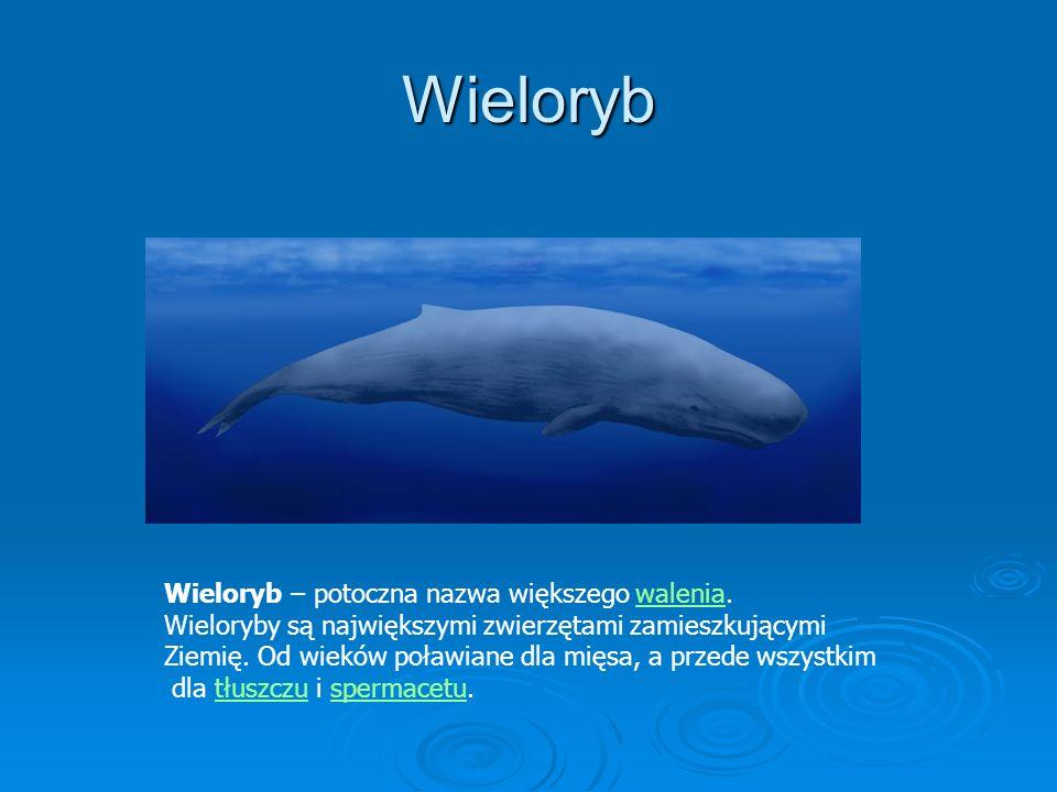 Wieloryb Wieloryb – potoczna nazwa większego walenia.walenia Wieloryby są największymi zwierzętami zamieszkującymi Ziemię. Od wieków poławiane dla mię
