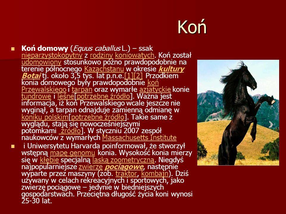 Koń Koń Koń domowy (Equus caballus L.) – ssak nieparzystokopytny z rodziny koniowatych. Koń został udomowiony stosunkowo późno prawdopodobnie na teren