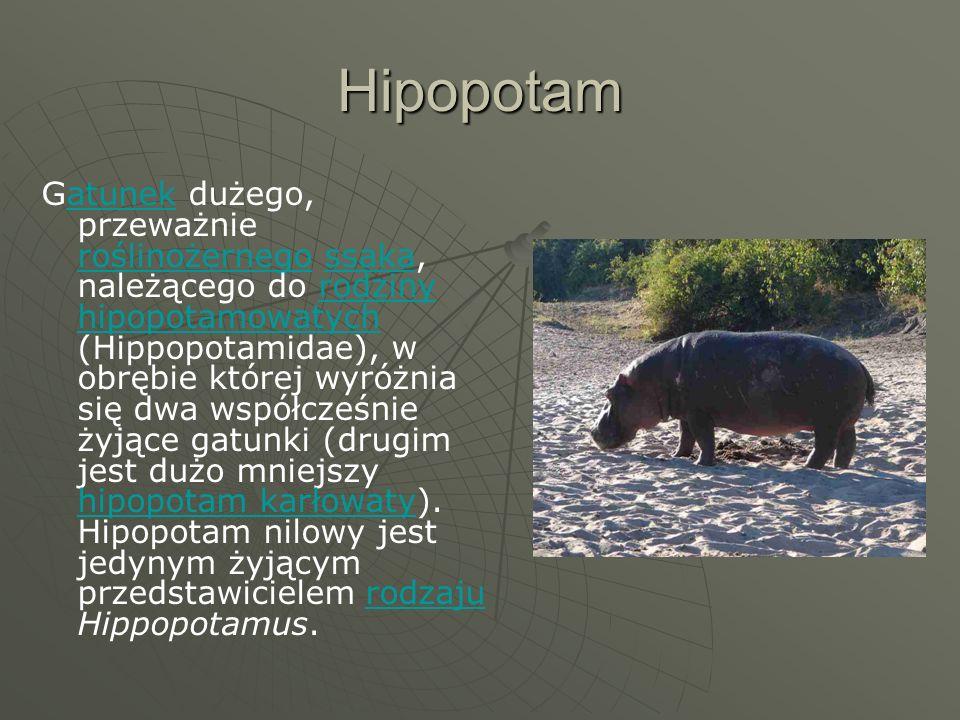 Hipopotam Gatunek dużego, przeważnie roślinożernego ssaka, należącego do rodziny hipopotamowatych (Hippopotamidae), w obrębie której wyróżnia się dwa