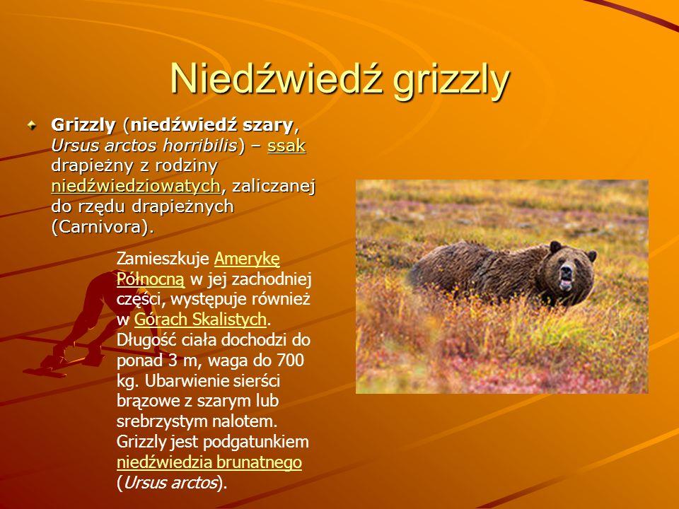 Niedźwiedź grizzly Grizzly (niedźwiedź szary, Ursus arctos horribilis) – ssak drapieżny z rodziny niedźwiedziowatych, zaliczanej do rzędu drapieżnych