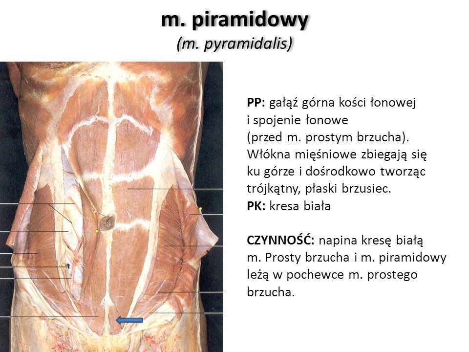 m. piramidowy (m. pyramidalis) PP: gałąź górna kości łonowej i spojenie łonowe (przed m. prostym brzucha). Włókna mięśniowe zbiegają się ku górze i do