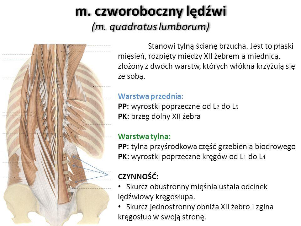 m. czworoboczny lędźwi (m. quadratus lumborum) Stanowi tylną ścianę brzucha. Jest to płaski mięsień, rozpięty między XII żebrem a miednicą, złożony z