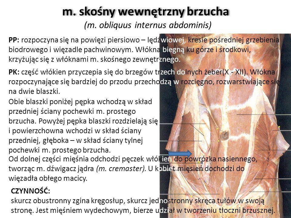 m. skośny wewnętrzny brzucha (m. obliquus internus abdominis) Obie blaszki poniżej pępka wchodzą w skład przedniej ściany pochewki m. prostego brzucha