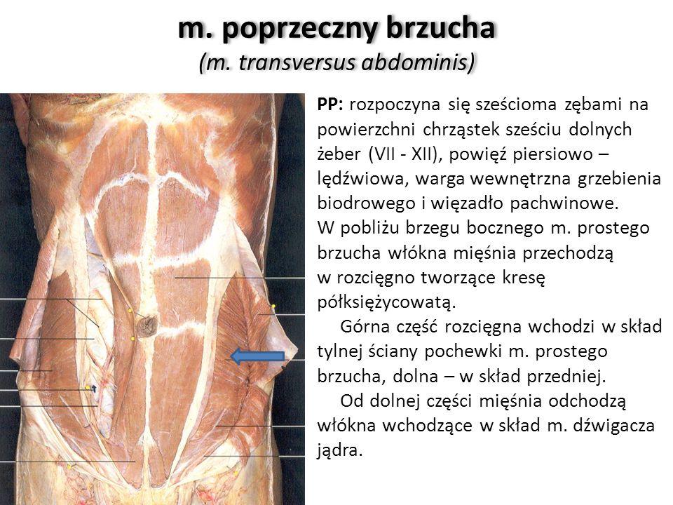 m. poprzeczny brzucha (m. transversus abdominis) PP: rozpoczyna się sześcioma zębami na powierzchni chrząstek sześciu dolnych żeber (VII - XII), powię