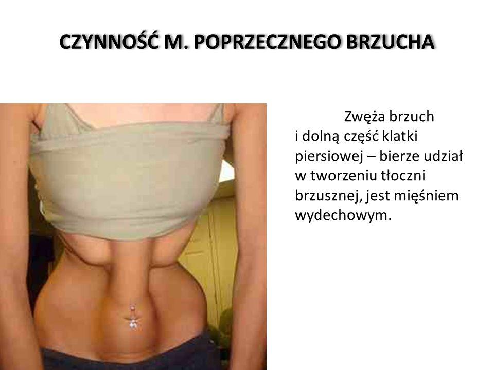 CZYNNOŚĆ M. POPRZECZNEGO BRZUCHA Zwęża brzuch i dolną część klatki piersiowej – bierze udział w tworzeniu tłoczni brzusznej, jest mięśniem wydechowym.