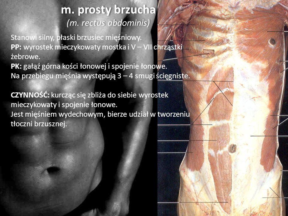 m. prosty brzucha (m. rectus abdominis) Stanowi silny, płaski brzusiec mięśniowy. PP: wyrostek mieczykowaty mostka i V – VII chrząstki żebrowe. PK: ga