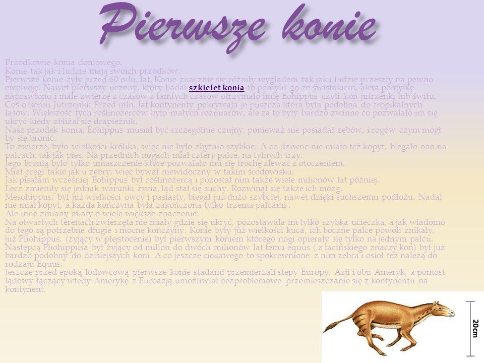 Pierwsze konie Pierwsze konie Przodkowie konia domowego. Konie tak jak i ludzie mają swoich przodków. Pierwsze konie żyły przed 60 mln. lat. Konie zna
