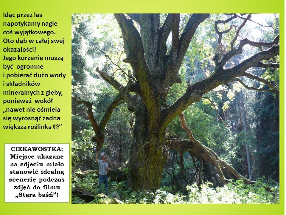 Idąc przez las napotykamy nagle coś wyjątkowego. Oto dąb w całej swej okazałości! Jego korzenie muszą być ogromne i pobierać dużo wody i składników mi