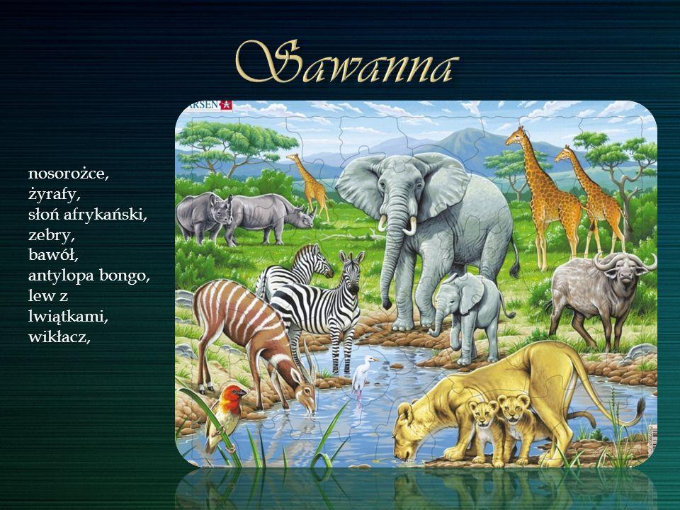 nosorożce, żyrafy, słoń afrykański, zebry, bawół, antylopa bongo, lew z lwiątkami, wikłacz,