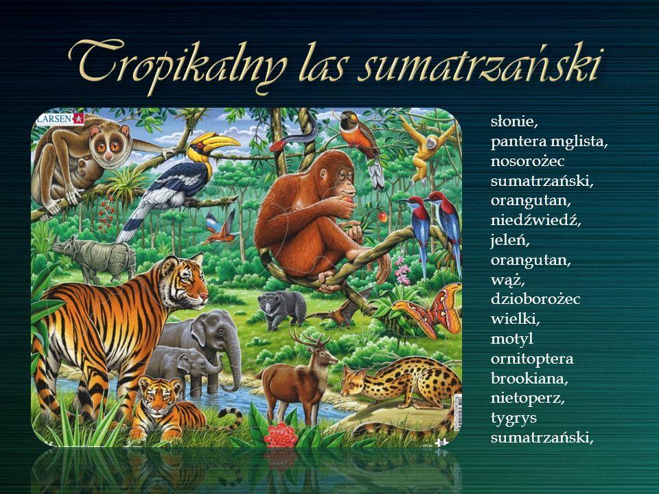 słonie, pantera mglista, nosorożec sumatrzański, orangutan, niedźwiedź, jeleń, orangutan, wąż, dzioborożec wielki, motyl ornitoptera brookiana, nietop