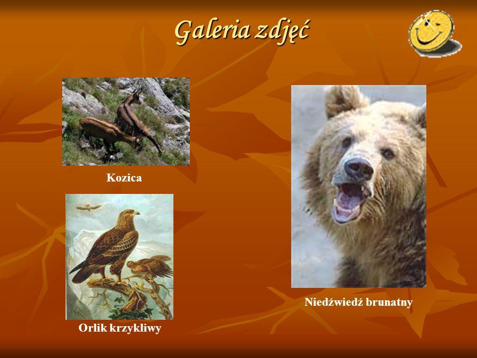 Galeria zdjęć Niedźwiedź brunatny Orlik krzykliwy Kozica