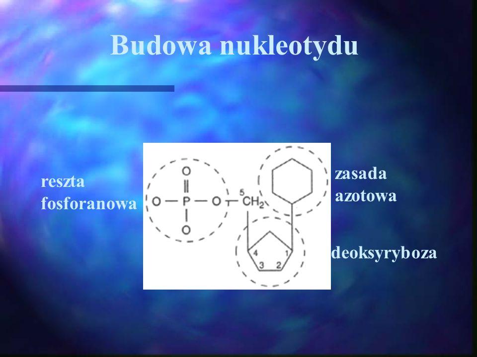 Budowa nukleotydu deoksyryboza zasada azotowa reszta fosforanowa