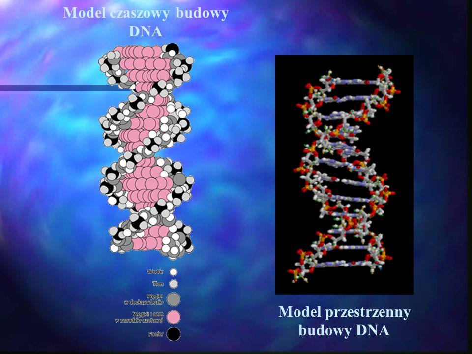 Model czaszowy budowy DNA Model przestrzenny budowy DNA