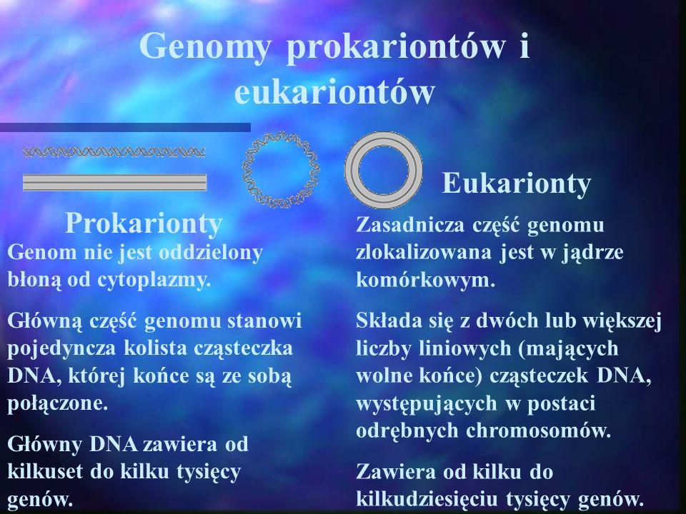 Genomy prokariontów i eukariontów Prokarionty Genom nie jest oddzielony błoną od cytoplazmy. Główną część genomu stanowi pojedyncza kolista cząsteczka