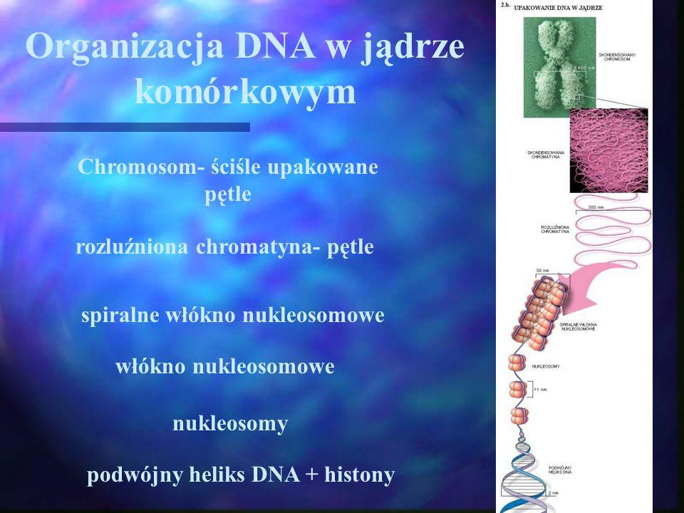 Organizacja DNA w jądrze komórkowym podwójny heliks DNA + histony nukleosomy włókno nukleosomowe spiralne włókno nukleosomowe rozluźniona chromatyna- pętle Chromosom- ściśle upakowane pętle
