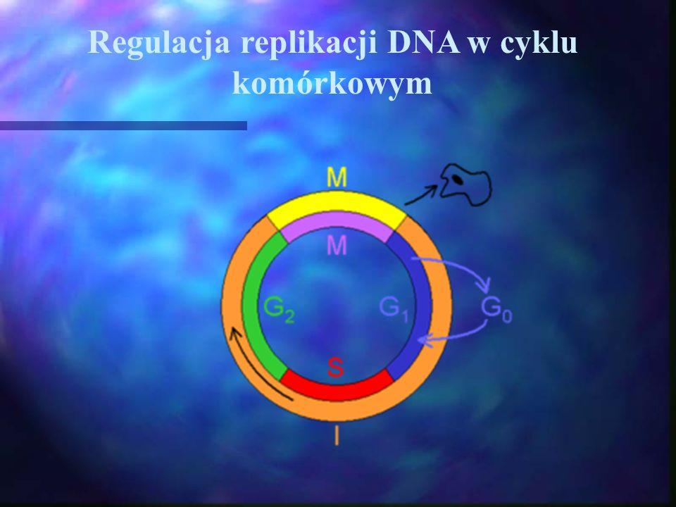 Regulacja replikacji DNA w cyklu komórkowym