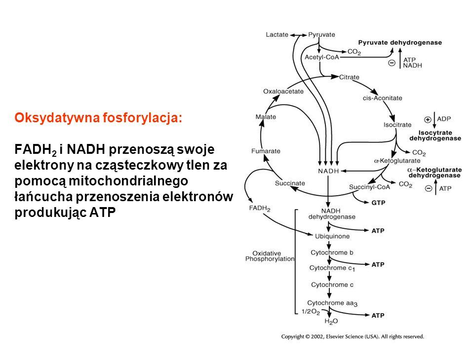 Oksydatywna fosforylacja: FADH 2 i NADH przenoszą swoje elektrony na cząsteczkowy tlen za pomocą mitochondrialnego łańcucha przenoszenia elektronów pr