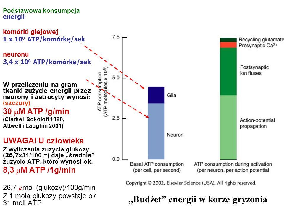Podstawowa konsumpcja energii komórki glejowej 1 x 10 8 ATP/komórkę/sek neuronu 3,4 x 10 8 ATP/komórkę/sek W przeliczeniu na gram tkanki zużycie energ