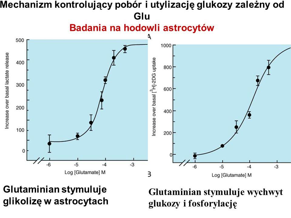 Mechanizm kontrolujący pobór i utylizację glukozy zależny od Glu Badania na hodowli astrocytów Glutaminian stymuluje glikolizę w astrocytach Glutamini