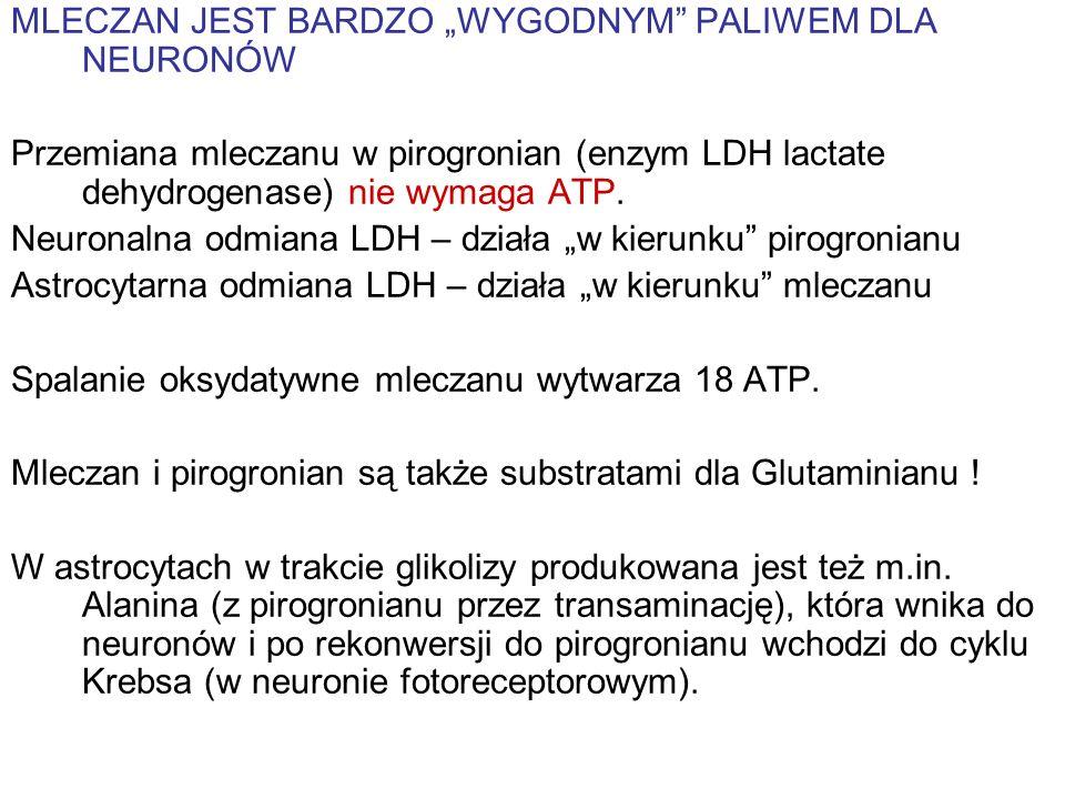 MLECZAN JEST BARDZO WYGODNYM PALIWEM DLA NEURONÓW Przemiana mleczanu w pirogronian (enzym LDH lactate dehydrogenase) nie wymaga ATP. Neuronalna odmian
