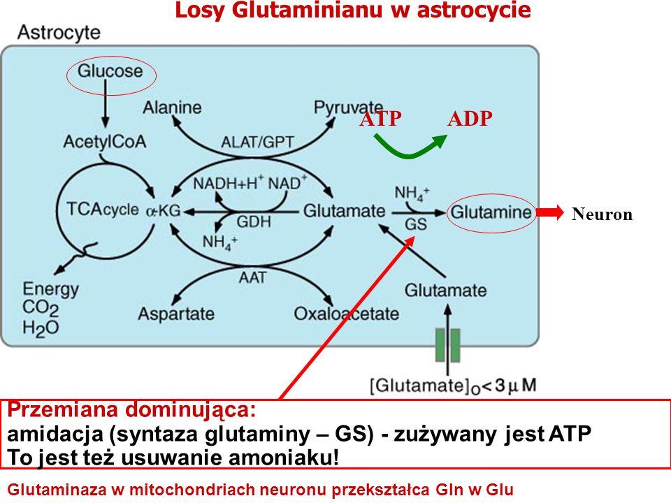 Neuron Losy Glutaminianu w astrocycie ATP ADP Glutaminaza w mitochondriach neuronu przekształca Gln w Glu Przemiana dominująca: amidacja (syntaza glut
