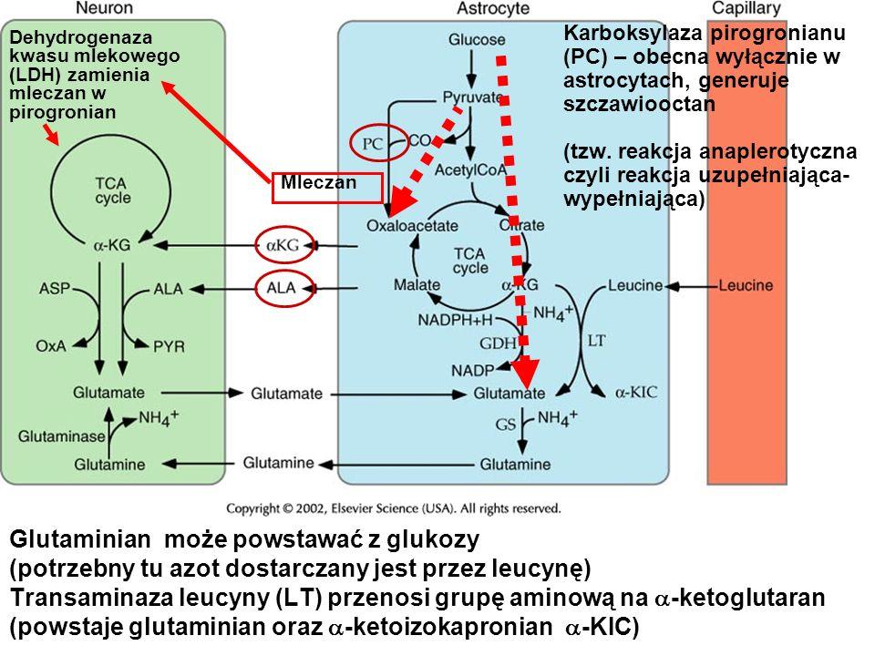 Glutaminian może powstawać z glukozy (potrzebny tu azot dostarczany jest przez leucynę) Transaminaza leucyny (LT) przenosi grupę aminową na -ketogluta