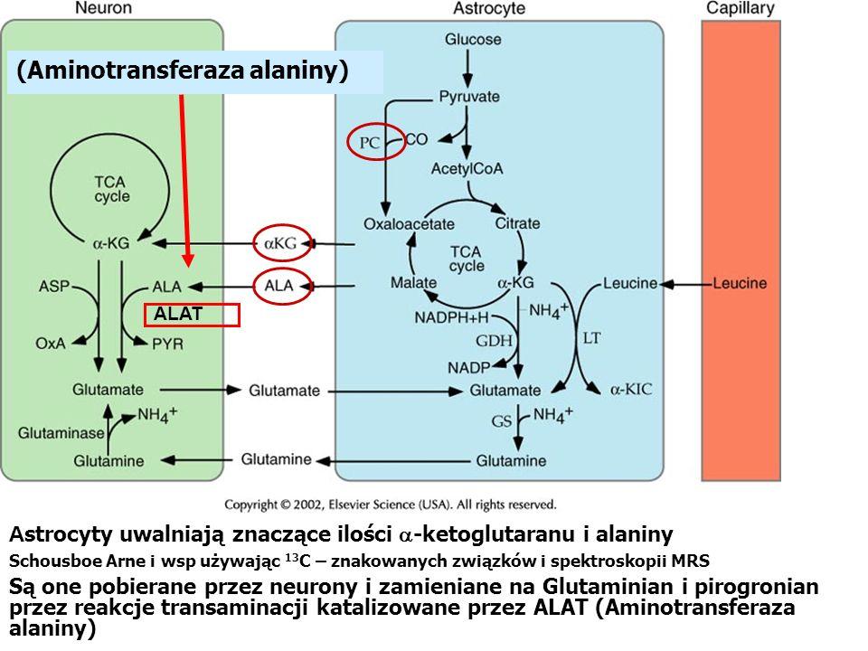 A strocyty uwalniają znaczące ilości -ketoglutaranu i alaniny Schousboe Arne i wsp używając 13 C – znakowanych związków i spektroskopii MRS Są one pob