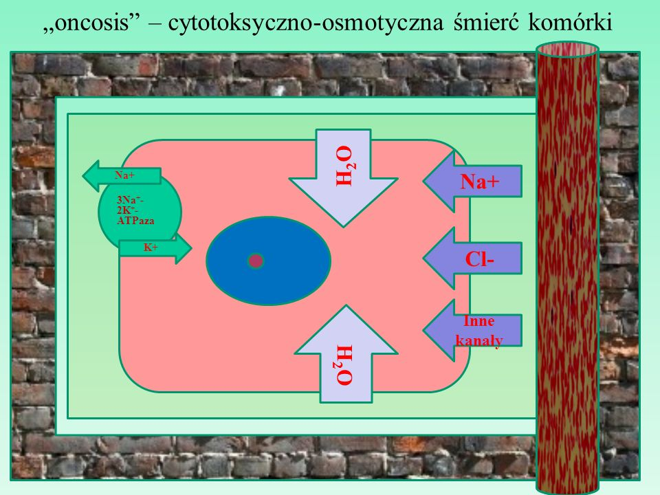 oncosis – cytotoksyczno-osmotyczna śmierć komórki Na+ Cl- H2OH2O 3Na + - 2K + - ATPaza Na+ K+ Inne kanały H2OH2O