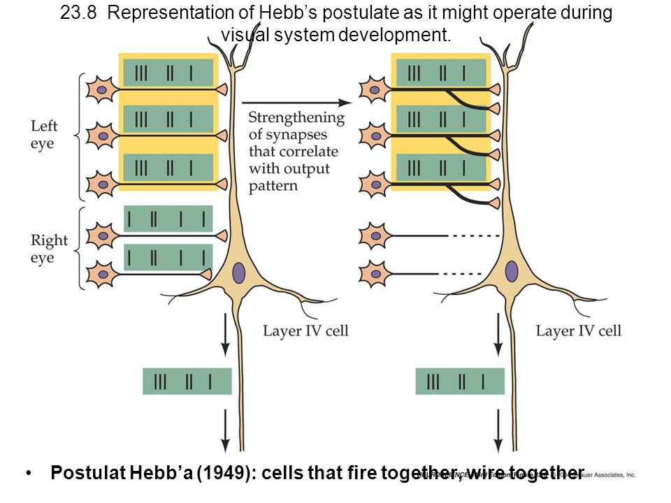 23.8 Representation of Hebbs postulate as it might operate during visual system development. Postulat Hebba (1949): cells that fire together, wire tog