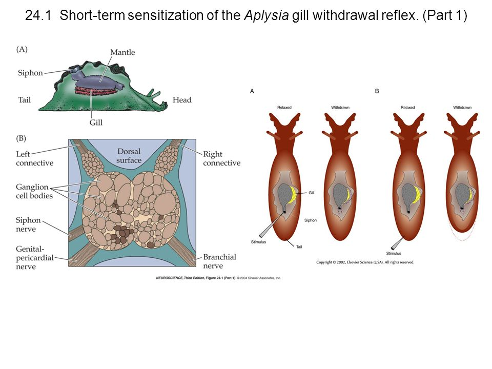 24.1 Short-term sensitization of the Aplysia gill withdrawal reflex. (Part 1)