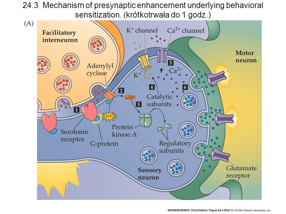 24.3 Mechanism of presynaptic enhancement underlying behavioral sensitization. (krótkotrwała do 1 godz.)