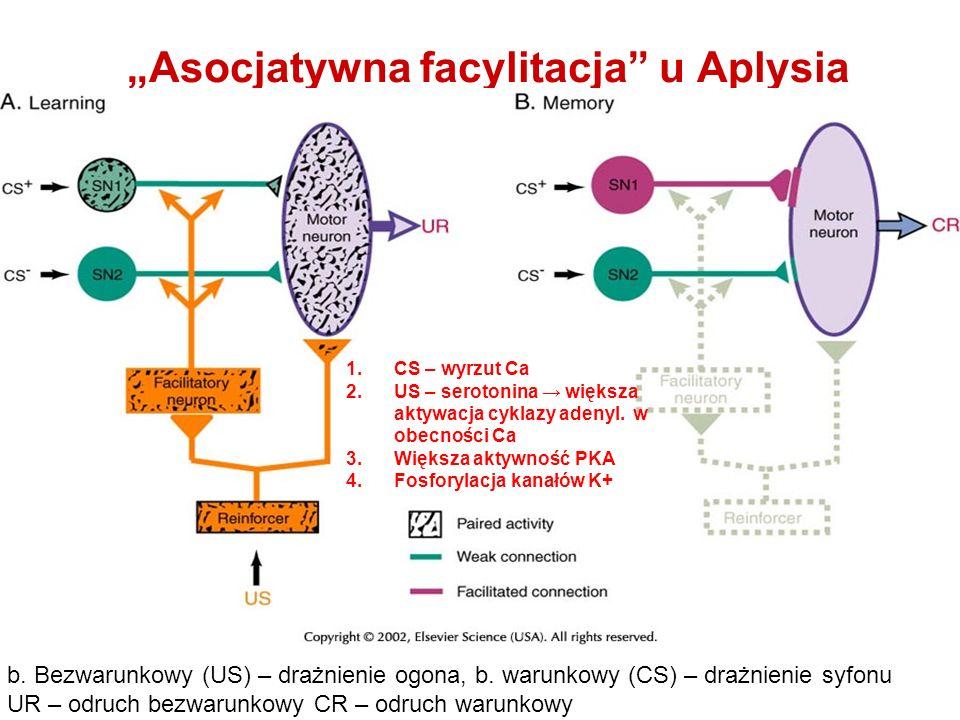 Asocjatywna facylitacja u Aplysia b. Bezwarunkowy (US) – drażnienie ogona, b. warunkowy (CS) – drażnienie syfonu UR – odruch bezwarunkowy CR – odruch