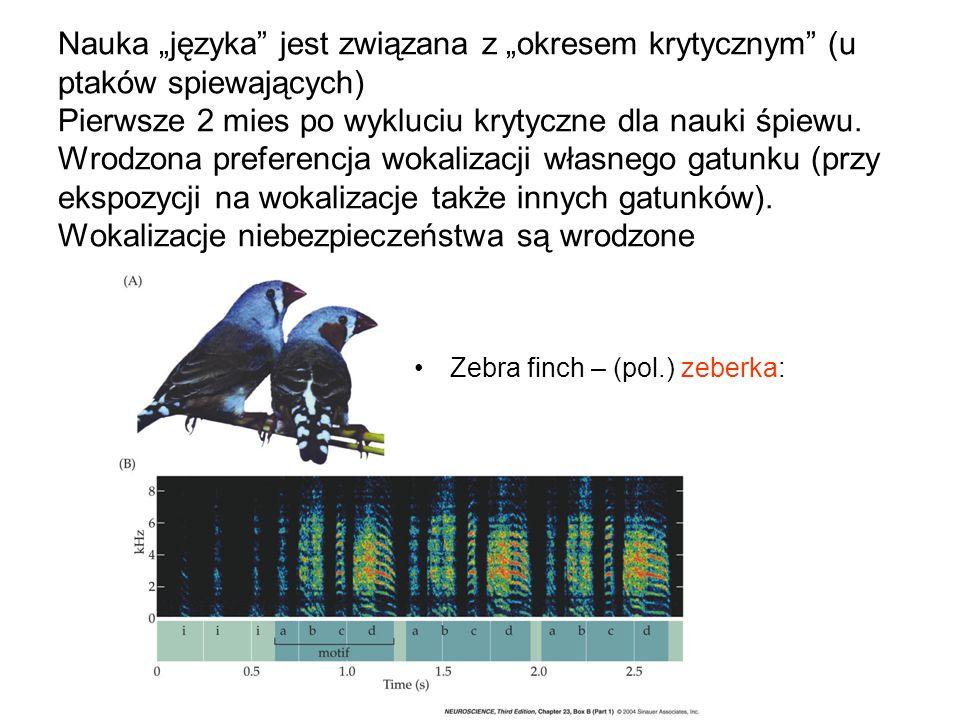 Nauka języka jest związana z okresem krytycznym (u ptaków spiewających) Pierwsze 2 mies po wykluciu krytyczne dla nauki śpiewu. Wrodzona preferencja w
