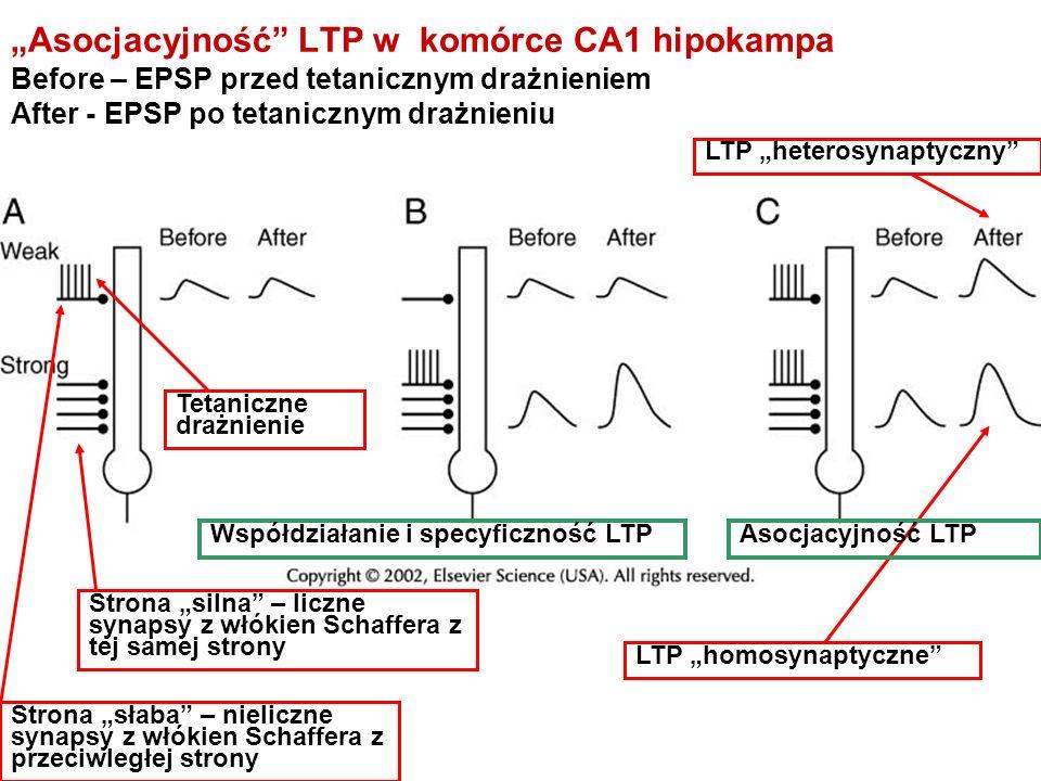 Asocjacyjność LTP w komórce CA1 hipokampa Before – EPSP przed tetanicznym drażnieniem After - EPSP po tetanicznym drażnieniu Tetaniczne drażnienie LTP