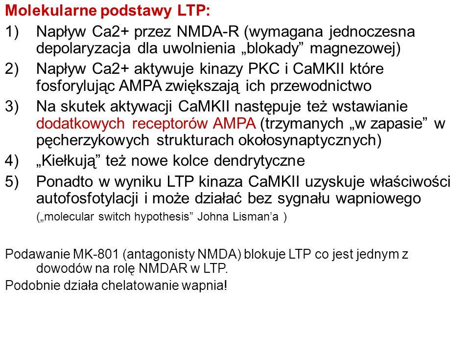 Molekularne podstawy LTP: 1)Napływ Ca2+ przez NMDA-R (wymagana jednoczesna depolaryzacja dla uwolnienia blokady magnezowej) 2)Napływ Ca2+ aktywuje kin