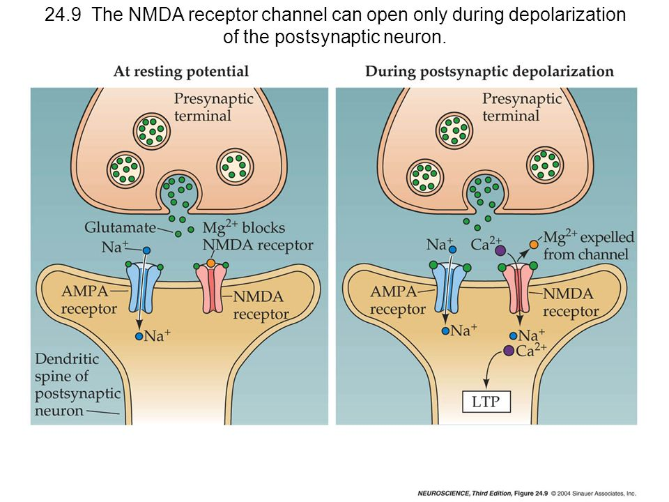 24.9 The NMDA receptor channel can open only during depolarization of the postsynaptic neuron.