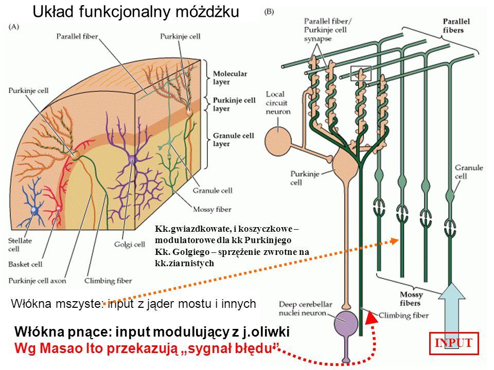 Układ funkcjonalny móżdżku Włókna mszyste: input z jąder mostu i innych INPUT Włókna pnące: input modulujący z j.oliwki Wg Masao Ito przekazują sygnał