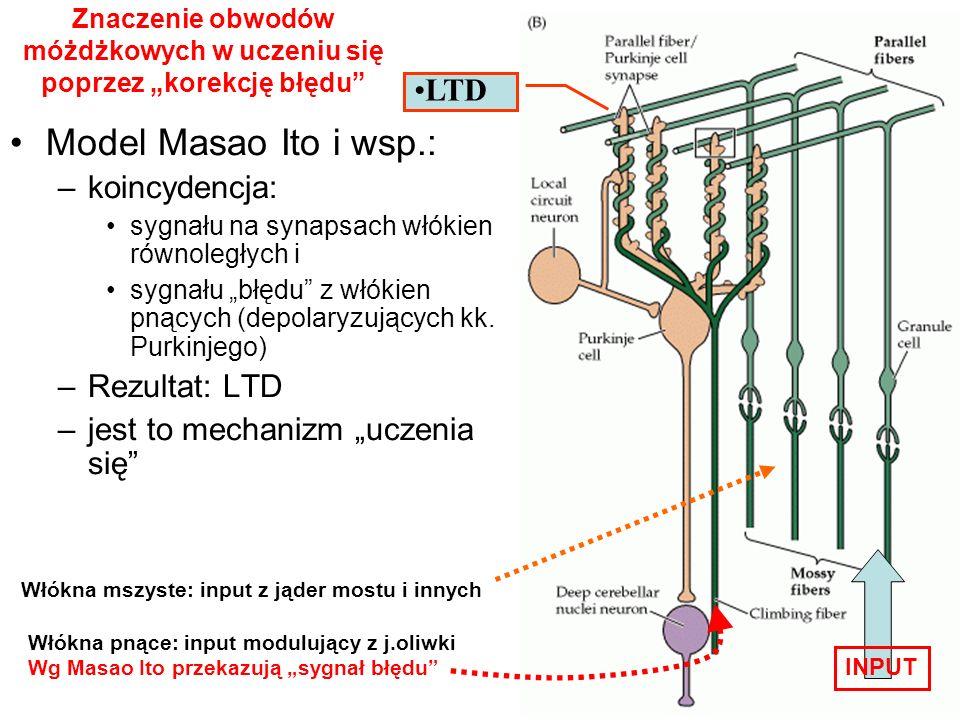 Model Masao Ito i wsp.: –koincydencja: sygnału na synapsach włókien równoległych i sygnału błędu z włókien pnących (depolaryzujących kk. Purkinjego) –
