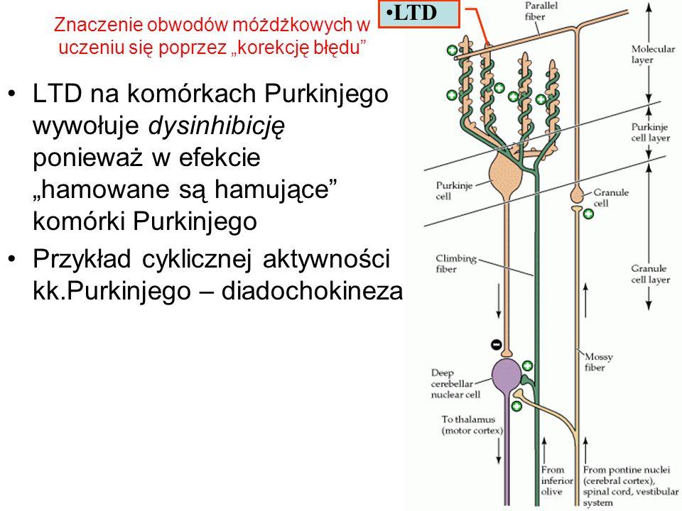 LTD na komórkach Purkinjego wywołuje dysinhibicję ponieważ w efekcie hamowane są hamujące komórki Purkinjego Przykład cyklicznej aktywności kk.Purkinj