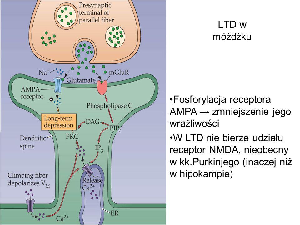 LTD w móżdżku Fosforylacja receptora AMPA zmniejszenie jego wrażliwości W LTD nie bierze udziału receptor NMDA, nieobecny w kk.Purkinjego (inaczej niż