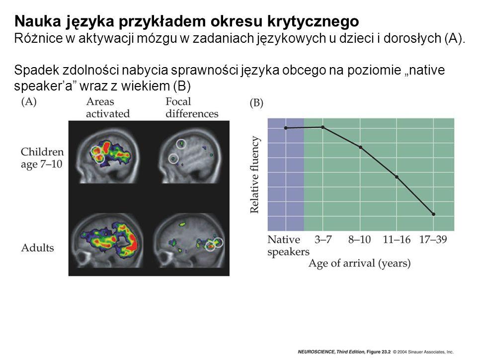Nauka języka przykładem okresu krytycznego Różnice w aktywacji mózgu w zadaniach językowych u dzieci i dorosłych (A). Spadek zdolności nabycia sprawno