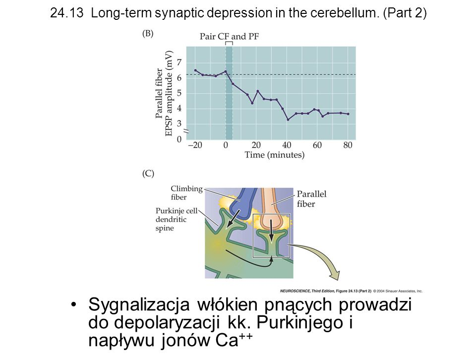 24.13 Long-term synaptic depression in the cerebellum. (Part 2) Sygnalizacja włókien pnących prowadzi do depolaryzacji kk. Purkinjego i napływu jonów