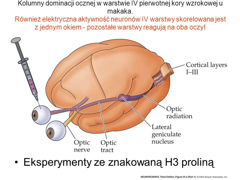 Kolumny dominacji ocznej w warstwie IV pierwotnej kory wzrokowej u makaka. Również elektryczna aktywność neuronów IV warstwy skorelowana jest z jednym